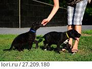 Puppies of the Great Dane walk in the park. Стоковое фото, фотограф Галина Голубь / Фотобанк Лори