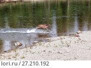 Купить «Лось переходит вброд через реку», фото № 27210192, снято 13 июля 2017 г. (c) Евгений Ткачёв / Фотобанк Лори