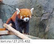 Купить «Малая панда (красная панда)», фото № 27215432, снято 7 ноября 2014 г. (c) Галина Савина / Фотобанк Лори