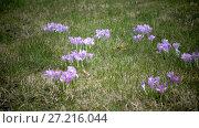 Купить «Early spring, crocus flowers against the background of a last year's grass», видеоролик № 27216044, снято 21 сентября 2009 г. (c) Куликов Константин / Фотобанк Лори
