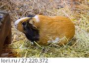 Купить «Морская свинка», фото № 27220372, снято 22 ноября 2016 г. (c) Галина Савина / Фотобанк Лори