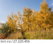 Купить «Aspen in autumn», фото № 27220456, снято 7 октября 2012 г. (c) Argument / Фотобанк Лори