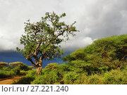 Купить «Sausage tree Kigelia africana in Tanzania, Africa», фото № 27221240, снято 21 января 2008 г. (c) Знаменский Олег / Фотобанк Лори