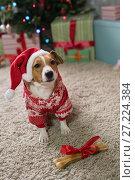Купить «Dog breed Jack Russell under the Christmas tree», фото № 27224384, снято 18 ноября 2017 г. (c) Типляшина Евгения / Фотобанк Лори