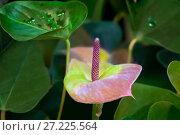 Купить «Розово-зеленый антуриум  (anthurium)», фото № 27225564, снято 6 сентября 2016 г. (c) Татьяна Белова / Фотобанк Лори