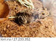Купить «Чернорубцовая малайская жаба», фото № 27233352, снято 20 ноября 2017 г. (c) Галина Савина / Фотобанк Лори