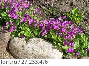 Купить «Примула кортузовидная (лат. Рrimula cortusoides L.) на клумбе в саду», эксклюзивное фото № 27233476, снято 27 мая 2017 г. (c) Елена Коромыслова / Фотобанк Лори