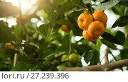 Купить «Tangerines on branch», видеоролик № 27239396, снято 4 января 2005 г. (c) Илья Шаматура / Фотобанк Лори