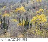 Купить «Flowers (Chamaecrista pilosa) in leafless forest with Hecho cactus (Pachycereus pecten-aboriginum) Sierra Alamos, Sonora, Mexico,», фото № 27244988, снято 26 апреля 2018 г. (c) Nature Picture Library / Фотобанк Лори