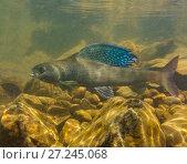 Купить «Arctic grayling (Thymallus arcticus) displaying his vibrant dorsal fin.  North Park, Colorado, USA.», фото № 27245068, снято 22 сентября 2018 г. (c) Nature Picture Library / Фотобанк Лори