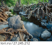Deciduous forest with Sabinos (Taxodium mucrunatum) with tangled roots, bank of the Rio Cuchujaqui Sierra Alamos, Mexico. Стоковое фото, фотограф Jack Dykinga / Nature Picture Library / Фотобанк Лори