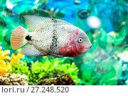Купить «Beautiful aquarium with astronotus fish (Astronotus ocellatus)», фото № 27248520, снято 17 ноября 2017 г. (c) Евгений Ткачёв / Фотобанк Лори