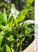 Купить «Japanese bannana plant», фото № 27251020, снято 12 июля 2013 г. (c) Евгений Ткачёв / Фотобанк Лори