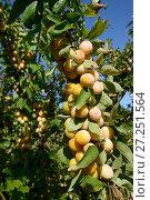 Купить «Yellow Plums on branch (Prunus domestica) bearing ripe fruit, Lorraine, France, september», фото № 27251564, снято 23 апреля 2018 г. (c) Nature Picture Library / Фотобанк Лори
