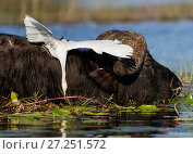 Купить «African buffalo (Syncerus caffer) in water with Cattle egret  (Bubulcus ibis) catching an insect, Chobe National Park, Botswana. May.», фото № 27251572, снято 22 октября 2018 г. (c) Nature Picture Library / Фотобанк Лори