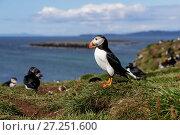 Купить «Atlantic puffin  (Fratercula arctica) standing by a burrow amongst the cliff top colony. Isle of Lunga, Treshnish Isles, Scotland, UK. July.», фото № 27251600, снято 17 июля 2018 г. (c) Nature Picture Library / Фотобанк Лори