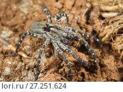 Купить «Sub-adult Deserta Grande wolf spider (Hogna ingens) eating a cricket, Deserta Grande, Madeira, Portugal. Critically endangered.», фото № 27251624, снято 16 декабря 2017 г. (c) Nature Picture Library / Фотобанк Лори