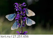 Купить «Black veined white butterflies (Aporia crataegi) group roosting on plant just after emergence, Herault, France, May.», фото № 27251656, снято 19 августа 2018 г. (c) Nature Picture Library / Фотобанк Лори