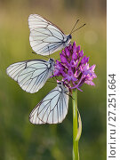 Купить «Group of Black veined white butterflies (Aporia crataegi) on flower, just after emergence, Herault, France, May.», фото № 27251664, снято 19 августа 2018 г. (c) Nature Picture Library / Фотобанк Лори