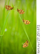 Купить «Lesser marbled fritillary butterflies (Brenthis ino) group resting, Haute-Savoie, France, June.», фото № 27251672, снято 19 августа 2018 г. (c) Nature Picture Library / Фотобанк Лори