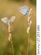 Купить «Blue butterflies, from left to right : Eros blue (Polyommatus eros), Northern Blue (Plebejus idas) and Amanda's blue (Polyommatus amandus) on grass, Hautes-Alpes, France, July.», фото № 27251680, снято 19 августа 2018 г. (c) Nature Picture Library / Фотобанк Лори