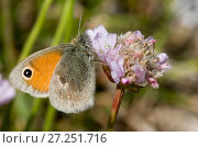 Купить «Small Heath (Coenonympha pamphilus), Sark, British Channel Islands, May.», фото № 27251716, снято 21 марта 2018 г. (c) Nature Picture Library / Фотобанк Лори