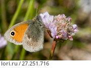 Купить «Small Heath (Coenonympha pamphilus), Sark, British Channel Islands, May.», фото № 27251716, снято 15 декабря 2017 г. (c) Nature Picture Library / Фотобанк Лори