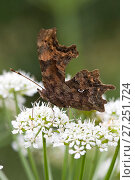 Купить «Comma Butterfly (Polygonia c-album), Jersey, British Channel Island, May.», фото № 27251724, снято 25 апреля 2018 г. (c) Nature Picture Library / Фотобанк Лори