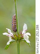 Купить «Caterpillar larva of Meadow / Spotted fritillary butterfly (Melitaea didyma), Alpes-Maritimes, France, June.», фото № 27252288, снято 16 декабря 2017 г. (c) Nature Picture Library / Фотобанк Лори