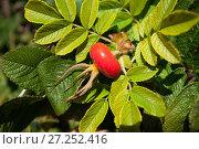 Купить «Wild rose (Rosa canina) hip, Sark, British Channel Islands, Sept 2013», фото № 27252416, снято 16 июля 2018 г. (c) Nature Picture Library / Фотобанк Лори