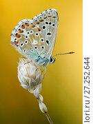 Купить «Adonis blue butterfly (Polyommatus bellargus), Baronnies Provencales Regional Natural Park, France, September.», фото № 27252644, снято 15 августа 2018 г. (c) Nature Picture Library / Фотобанк Лори
