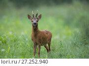 Купить «Roe deer (Capreolus capreolus) buck standing in a wheat field, Burgundy, France. June.», фото № 27252940, снято 14 августа 2018 г. (c) Nature Picture Library / Фотобанк Лори