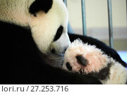 Купить «Giant panda female Huan Huan nursing cub, three months old (Ailuropoda melanoleuca), captive, Beauval Zoo, France, October 2017.», фото № 27253716, снято 11 декабря 2017 г. (c) Nature Picture Library / Фотобанк Лори