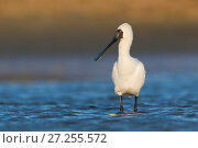 Royal spoonbill (Platalea regia) standing in shallow water. Ashley River, Canterbury, New Zealand. July. Стоковое фото, фотограф Andy Trowbridge / Nature Picture Library / Фотобанк Лори