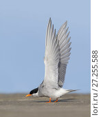 Black-fronted tern (Chlidonias albostriatus) stretching wings. Ashley River, Canterbury, New Zealand. July. Стоковое фото, фотограф Andy Trowbridge / Nature Picture Library / Фотобанк Лори