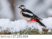 Купить «Great Spotted Woodpecker (Dendrocopus major) searching for food in snow, during snowfall. Norway. March.», фото № 27255604, снято 14 декабря 2017 г. (c) Nature Picture Library / Фотобанк Лори
