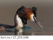 Купить «Australasian crested grebe (Podiceps cristatus australis) portrait. Ashburton Lakes, Canterbury, New Zealand. September.», фото № 27255648, снято 22 июля 2018 г. (c) Nature Picture Library / Фотобанк Лори