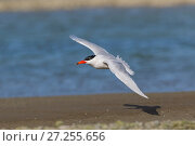 Caspian Tern (Sterna caspia) in flight. Ashley River, Canterbury, New Zealand. August. Стоковое фото, фотограф Andy Trowbridge / Nature Picture Library / Фотобанк Лори