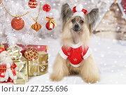 Купить «Chinese Crested dogs in a Christmas costume», фото № 27255696, снято 4 ноября 2017 г. (c) Алексей Кузнецов / Фотобанк Лори