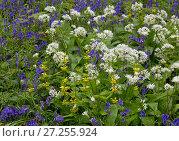 Купить «Ramsons (Allium ursinum) growing among Yellow Archangel (Lamium galeobdolon) in woodland, Norfolk, England, UK, May.», фото № 27255924, снято 25 апреля 2018 г. (c) Nature Picture Library / Фотобанк Лори