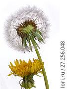 Купить «Dandelion (Taxaxacum officinale) seed head and flowers. England, UK.», фото № 27256048, снято 23 мая 2018 г. (c) Nature Picture Library / Фотобанк Лори