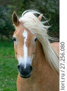 Купить «Haflinger horse portrait.  England, UK», фото № 27256080, снято 15 августа 2018 г. (c) Nature Picture Library / Фотобанк Лори