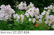 Купить «many beautiful white phloxes on flowerbed», видеоролик № 27257824, снято 13 июля 2017 г. (c) Володина Ольга / Фотобанк Лори