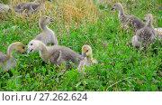 Купить «Flock of goose grazing on green grass», видеоролик № 27262624, снято 12 июля 2017 г. (c) Володина Ольга / Фотобанк Лори