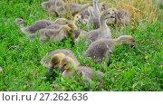 Купить «Flock of goose grazing on green grass», видеоролик № 27262636, снято 12 июля 2017 г. (c) Володина Ольга / Фотобанк Лори