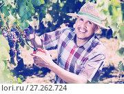 Купить «Mature man picking ripe grapes on vineyard», фото № 27262724, снято 15 декабря 2017 г. (c) Яков Филимонов / Фотобанк Лори