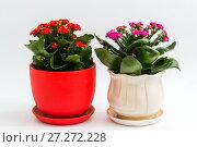 Купить «Pink and red kalanchoe in a pot on light background», фото № 27272228, снято 25 ноября 2017 г. (c) Володина Ольга / Фотобанк Лори