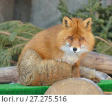 Симпатичная рыжая лиса (Vulpes vulpes) Стоковое фото, фотограф Валерия Попова / Фотобанк Лори