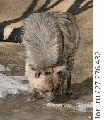 Купить «Striped hyena (Hyaena hyaena). Гиена принюхивается», фото № 27276432, снято 18 февраля 2016 г. (c) Валерия Попова / Фотобанк Лори