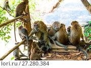 Купить «adult monkeys and young on the trail in Thayland, Krabi resort», фото № 27280384, снято 8 ноября 2016 г. (c) Константин Лабунский / Фотобанк Лори